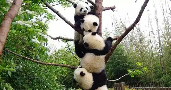 four young pandas on tree in China, photo by Prof. Monica Chiu
