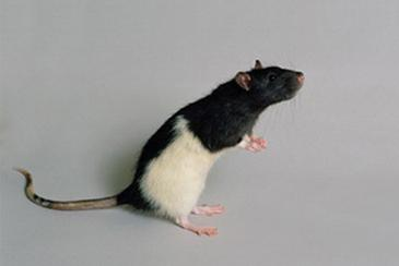 black and white rat