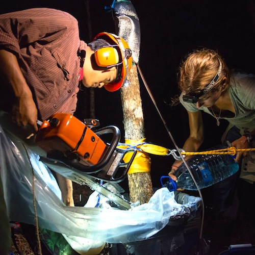 Two researchers in the dark with chainsaws at a tree