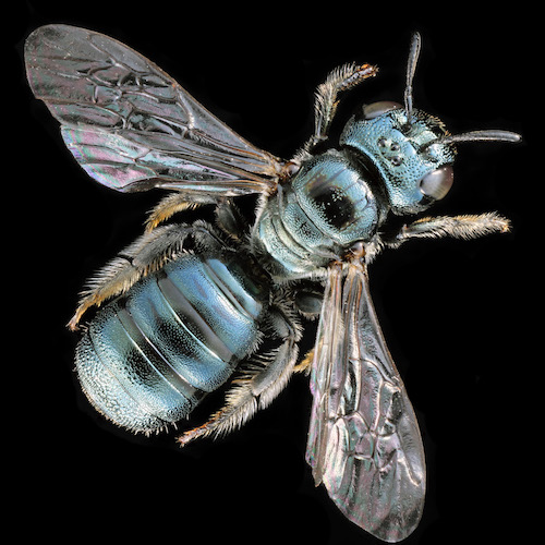 Close-up of carpenter bee on black background