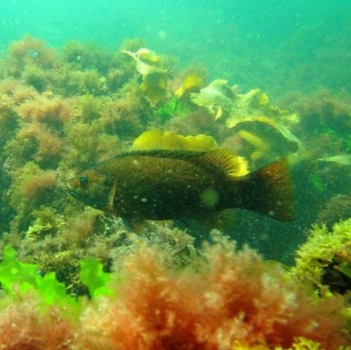 Cunner fish swimming in colorful seaweed