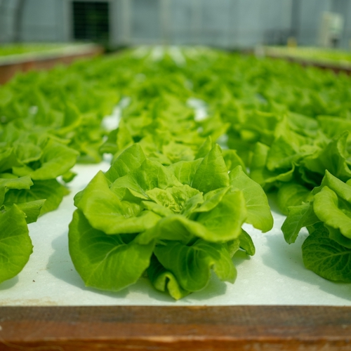 Heads of lettuce growing in a greenhouse