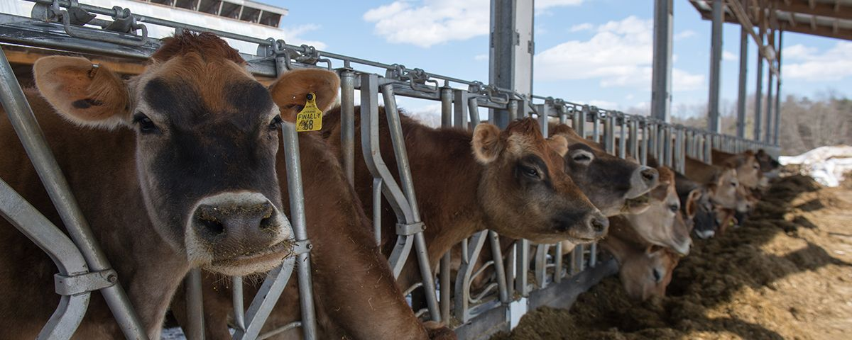 Cows feed on hay at UNH's organic dairy facility.