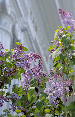 Lilacs bloom on campus