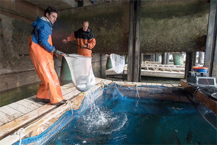 Two men using net to scoop fish out of large tank