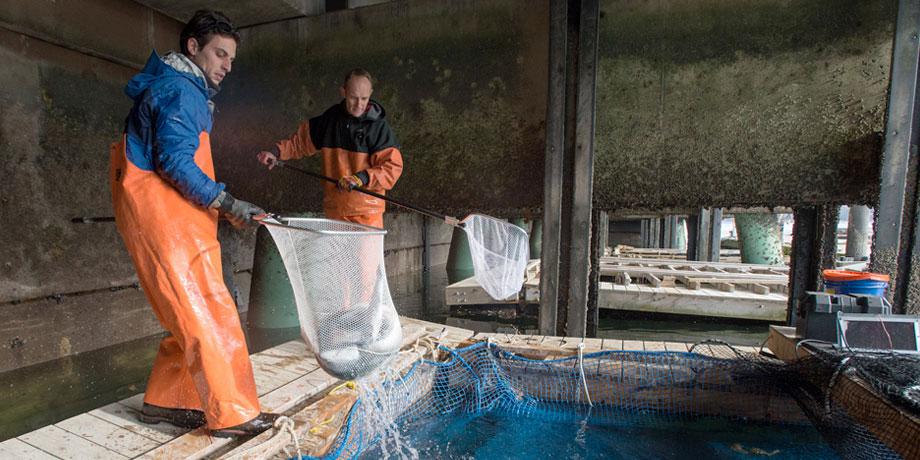 Harvesting steelhead trout