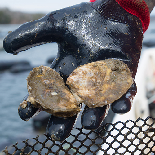 unh sustainability oyster research
