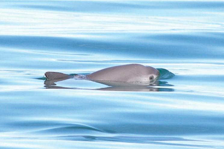 the endangered vaquita porpoise