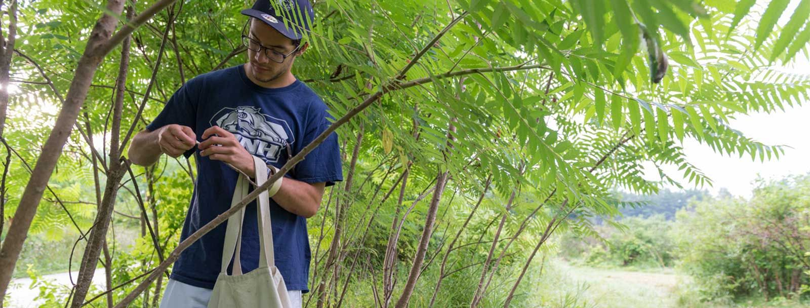 UNH pre-med major Sean Lombard harvests sumac stems for his research study