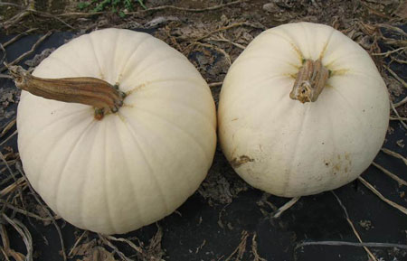"UNH-developed pumpkin ""Moonshine"""