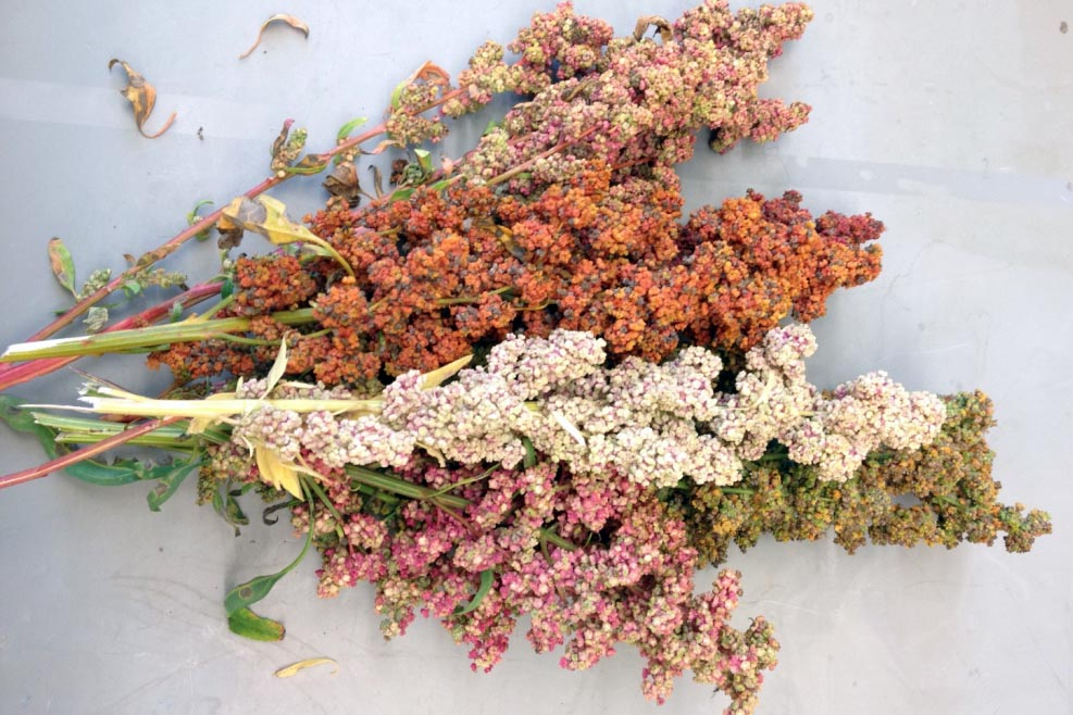 quinoa seeds from plants grown at the University of New Hampshire