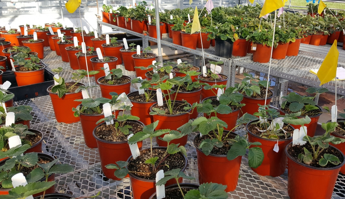 Organic strawberry seedlings at the UNH Macfarlane Research Greenhouses