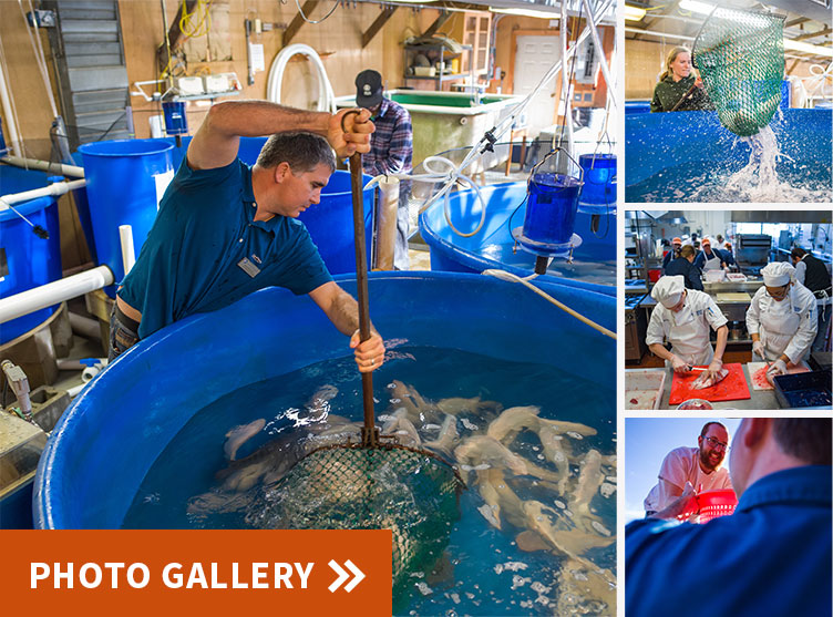 photo collage of UNH harvesting tilapia for NH Food Bank