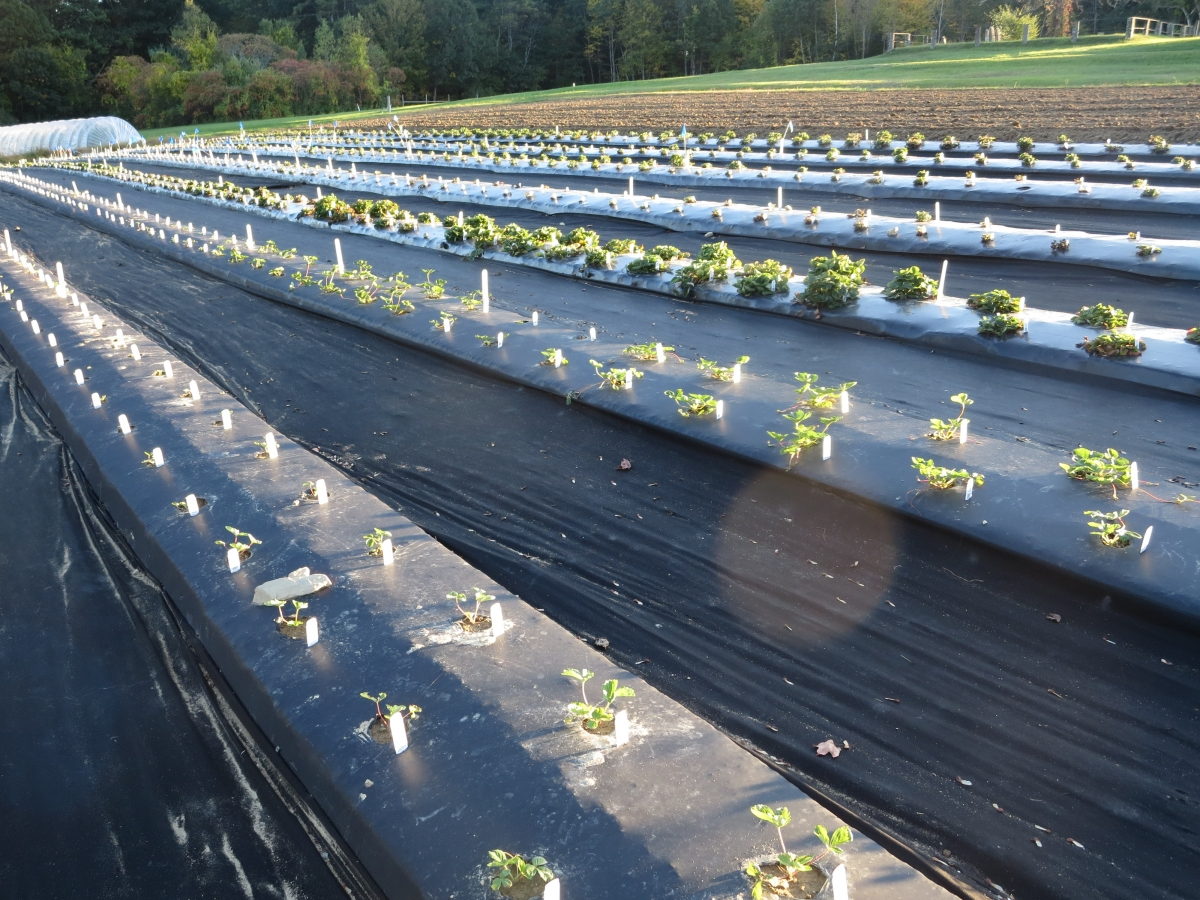 strawberry plants at UNH's Woodman Horticultural Research Farm