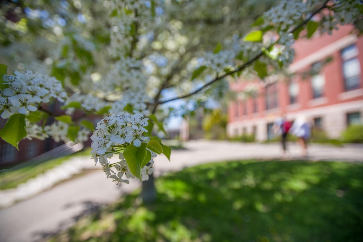 a closeup of a blossom on a tree on the UNH campus in spring 2018, with a brick building in the background