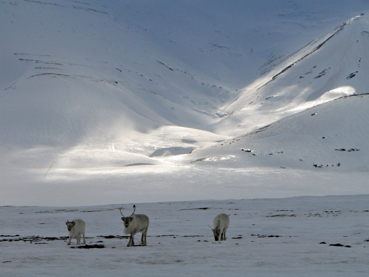 Reindeer browse for food on snow-covered terrain.