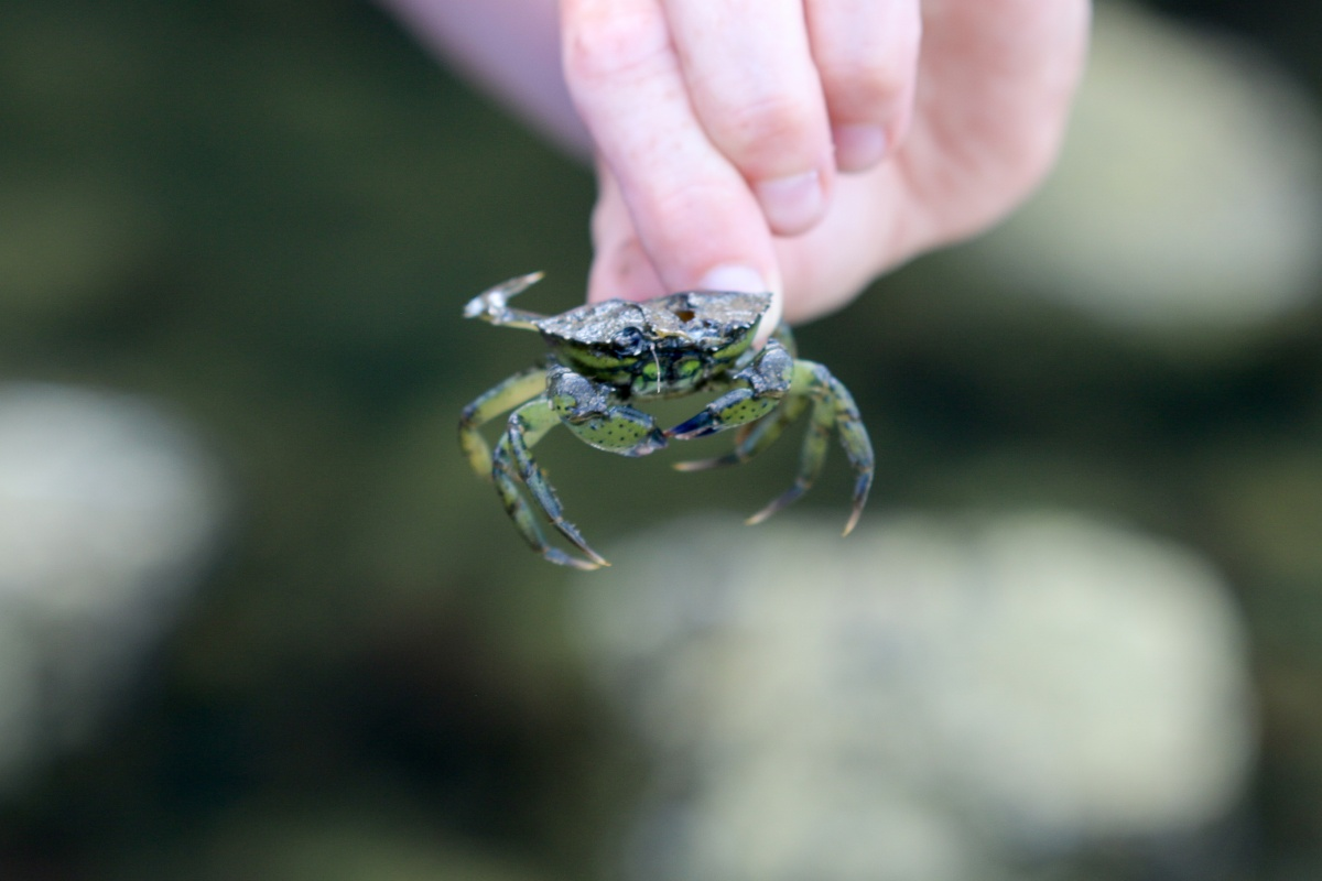 Close up of green crab in human's hand