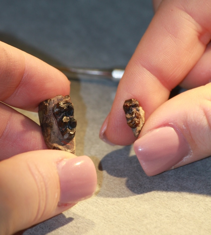 Close up of woman's hand holding fossilized teeth