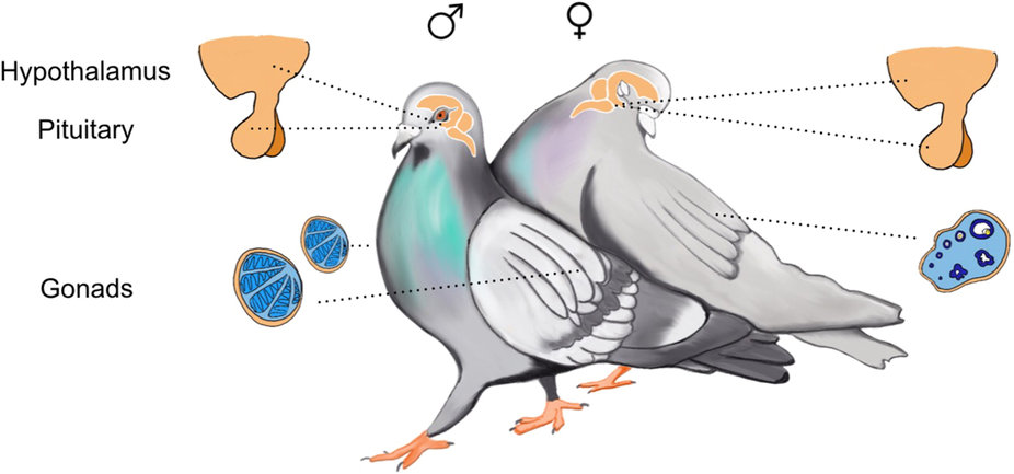 Illustration of pigeon with reproductive endocrinology highlighted