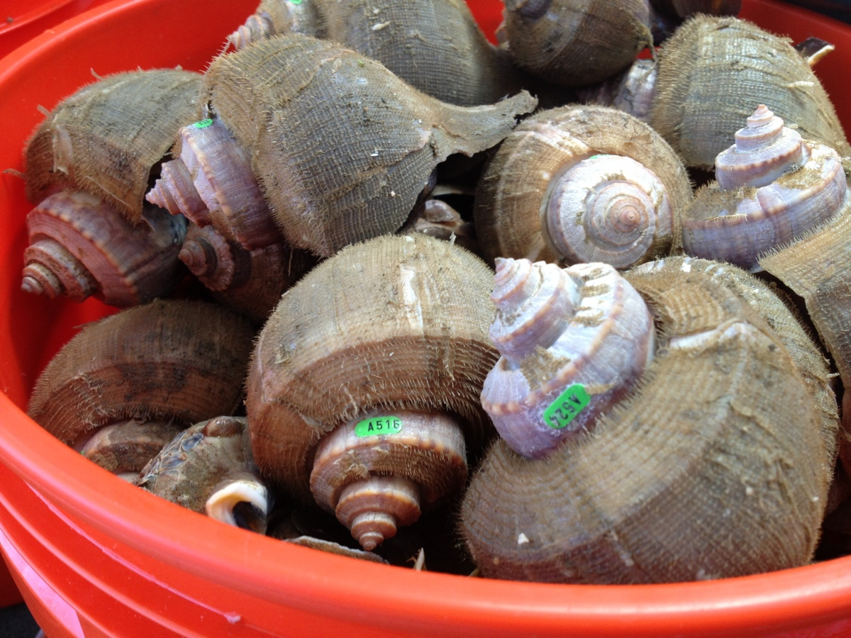 Whelks with research tags in a red bucket