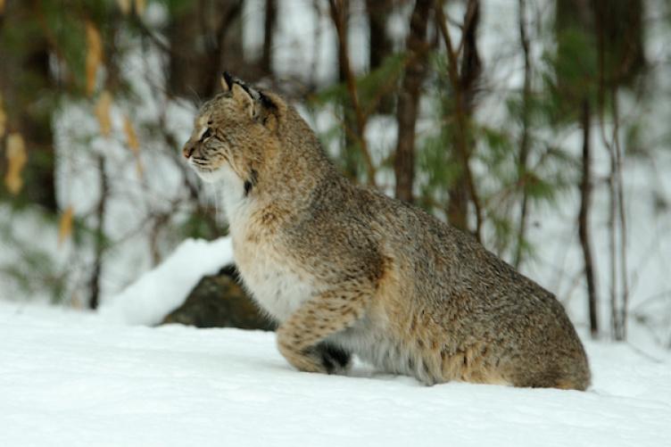 bobcat in woods