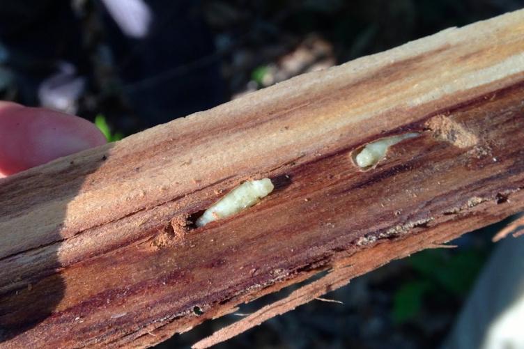 emerald ash borer larvae