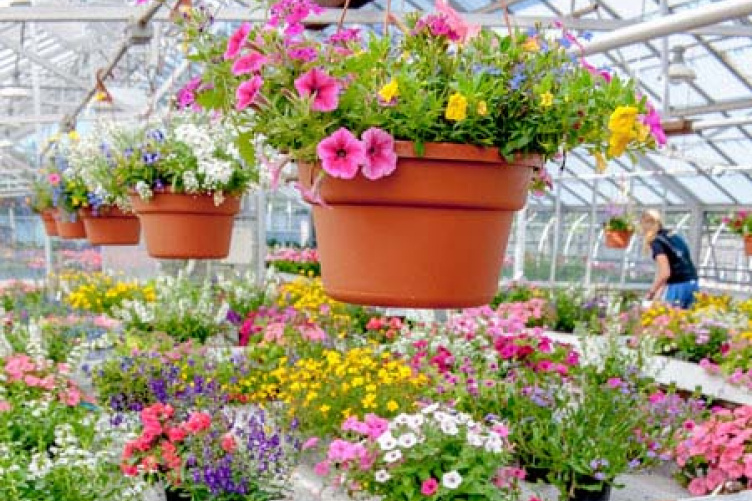 Spring arrives at the unh greenhouse unh today potted flowers in greenhouse mightylinksfo