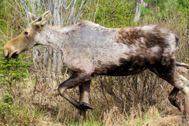 moose infected by ticks
