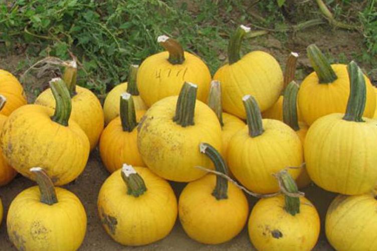 yellow pumpkin named Sunlight