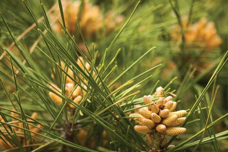 pine tree closeup