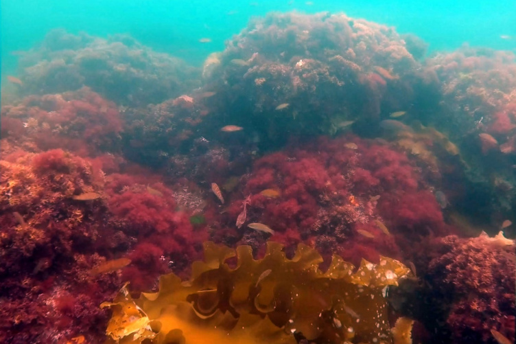 Underwater shot of reddish seaweed