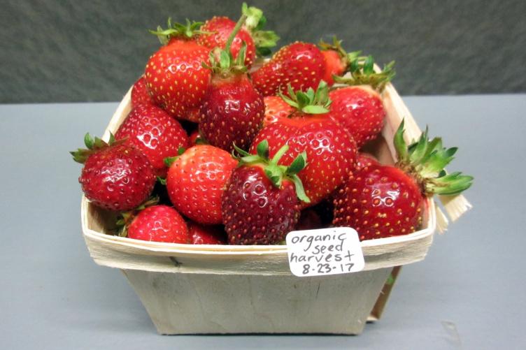 a quart of organic seed harvest strawberries