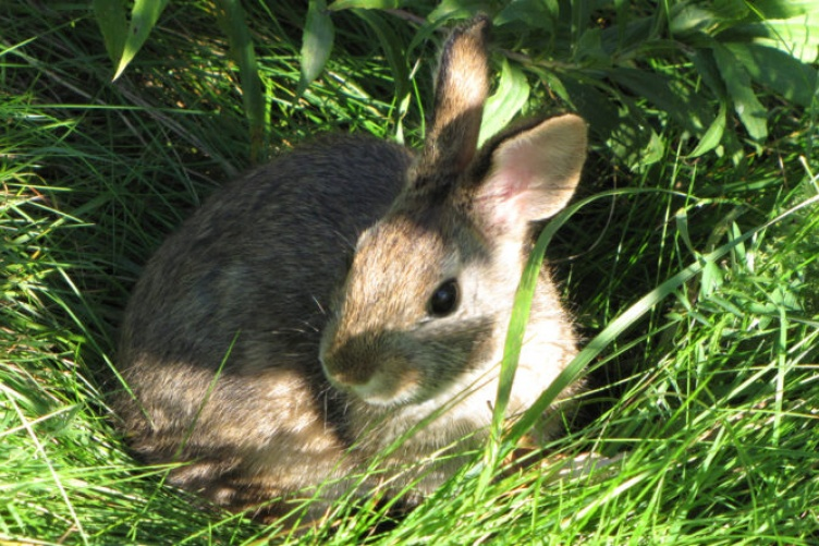 A New England cottontail rabbit reared at Roger Williams Park Zoo in 2012 acclimates to the wild