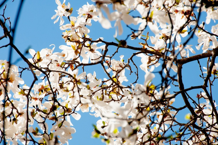 a white blossom in full bloom on a tree at UNH