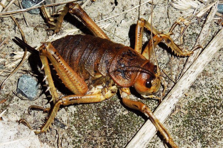 Cook Strait female giant weta