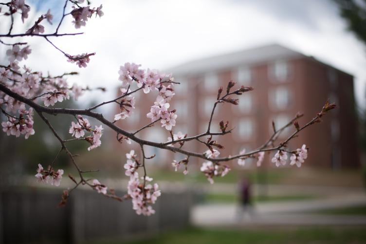 Spring pink blossoms on a tree in front of a brick building on campus.