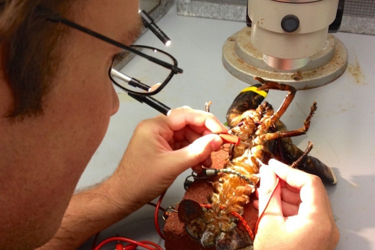 Ben Gutzler extracts a lobster spermatophore