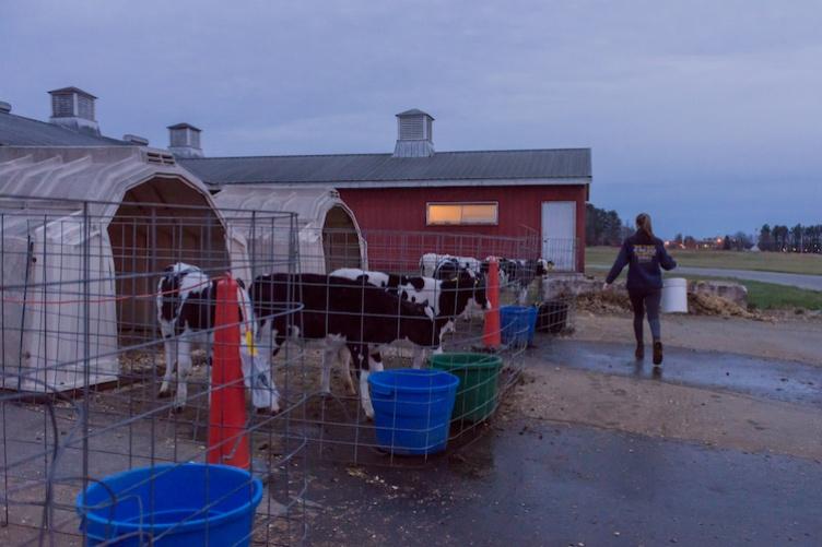 student feeding horses at dusk