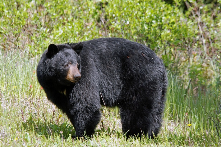 Black bear standing at the edge of a forest