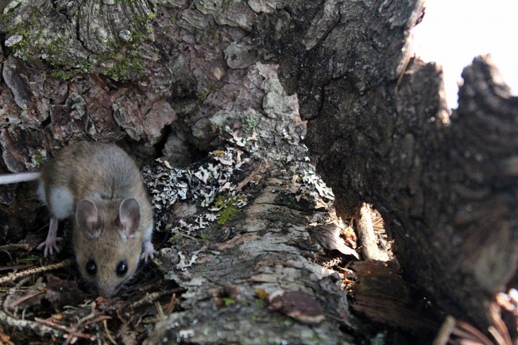 Woodland animals such as mice play an essential role in keeping forests healthy and thriving.
