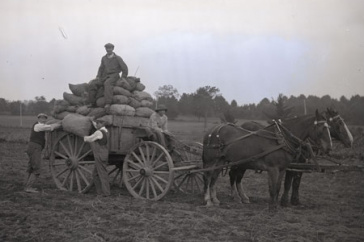 potato planting at UNH