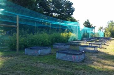 silken buckthorn research at UNH's Kingman Farm
