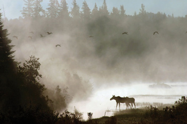 a moose in the mist