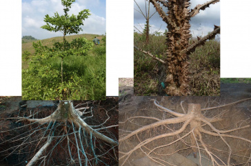 Montage photos of trees with their root systems