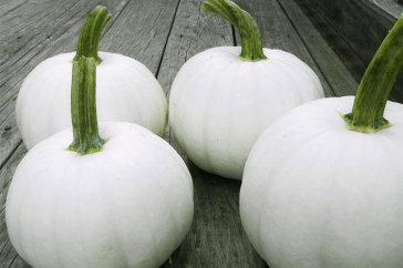 The Blanco white pumpkin variety, developed at UNH. Credit: Harris Seeds