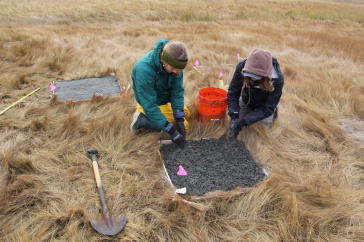 UNH students conducting a field experiment on an area salt marsh