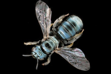 Close-up image of North American carpenter bee on black background