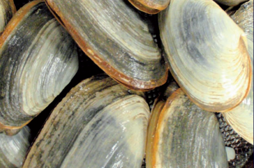 Close-up of clams