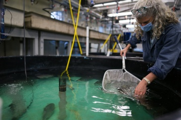 Female researcher scoops into large fish tank with net