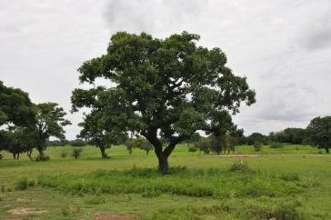 Shea tree in the landscape